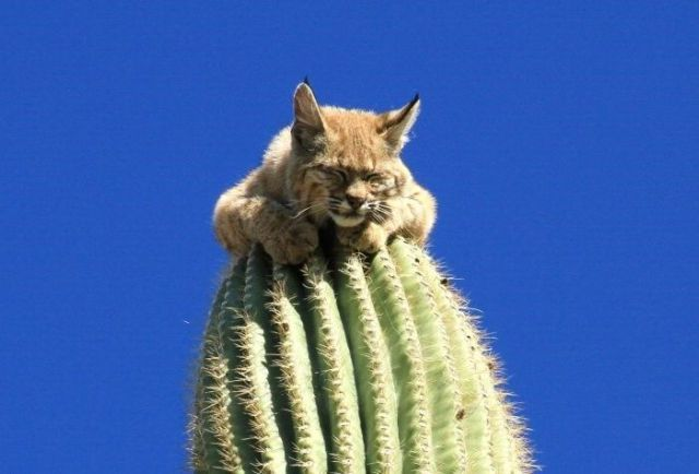 saboten cat
