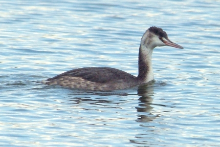 great-crested