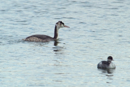 greatcrested-blacknecked