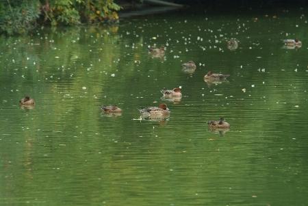 pond-wigeon