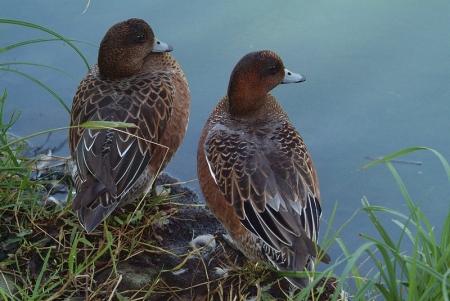 wigeon-nb-pair