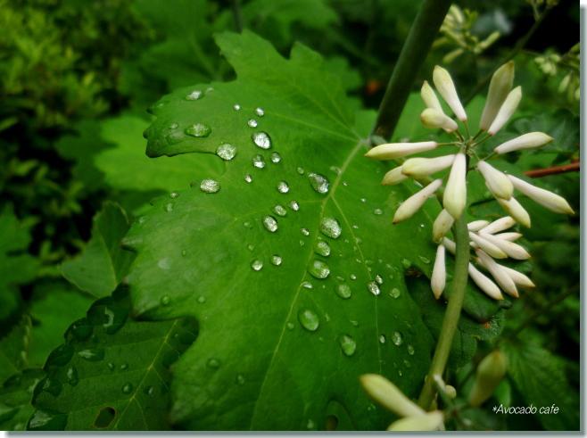 タケニグサの葉