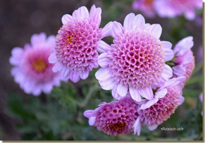 ダリアのような菊