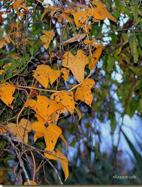 へクロカズラの黄葉