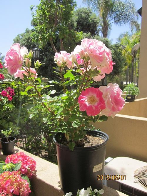 たわわに花咲く薔薇