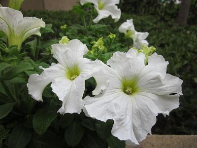 ペチュニアホワイト