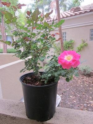 二期めの薔薇