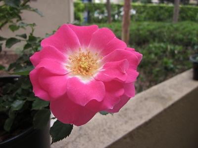 薔薇アップ