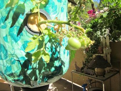 青いトマト2