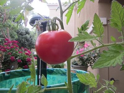 べっぴんトマト