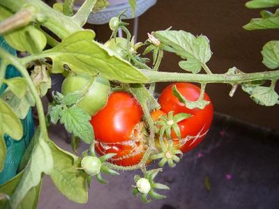 ミニトマト誕生