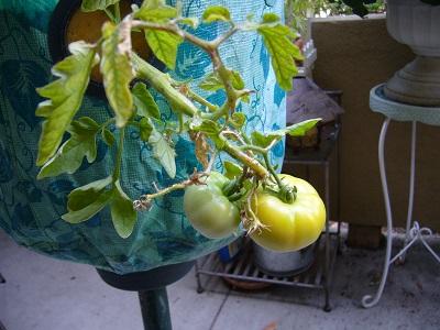 トマト 色つく