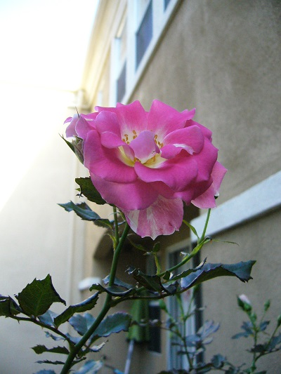 三期めの薔薇