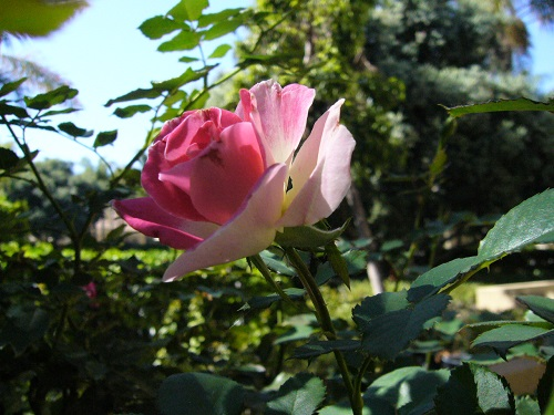 4期めの薔薇