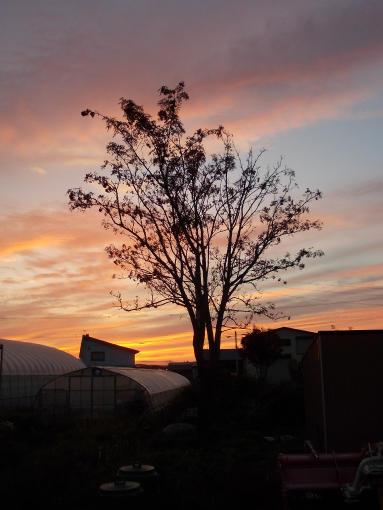 20140929_庭のナナカマドと夕焼け