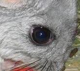 チンチラの目