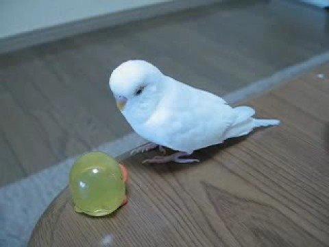 白い鳥youtube