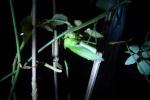 キリギリスの産卵