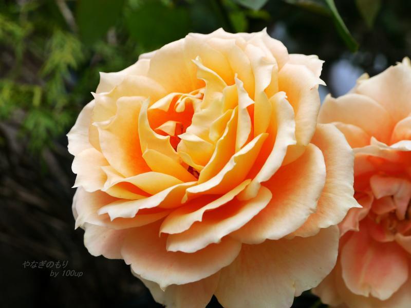 2013,5,4オルゴールの森薔薇園