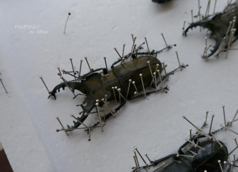 2013,6,4ミヤマクワガタ標本
