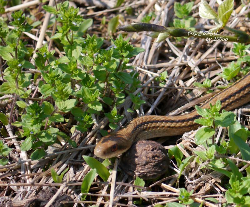 2012,5,5シマヘビ