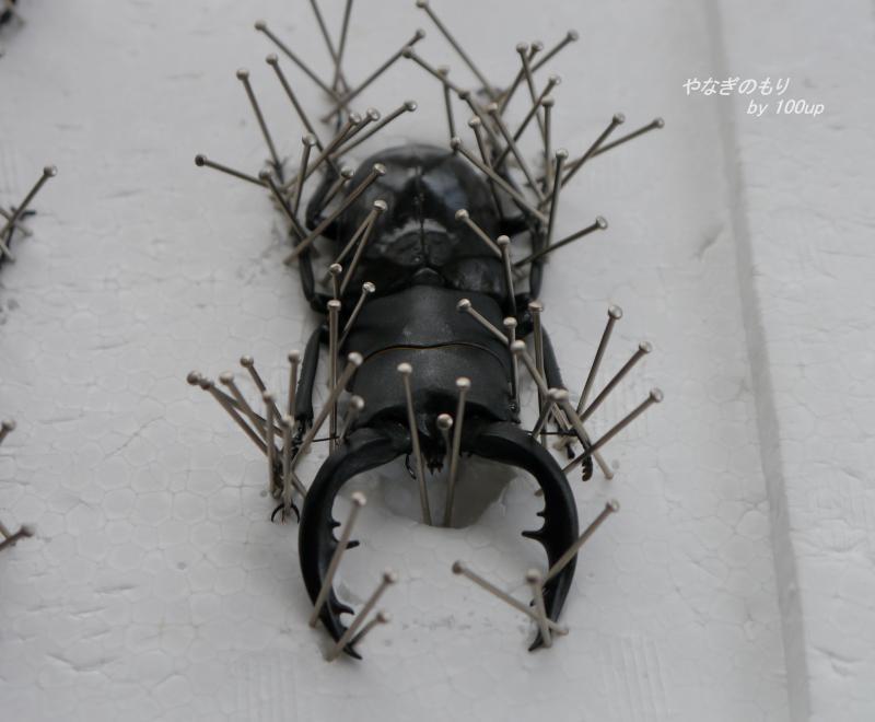 アマミノコギリ-標本