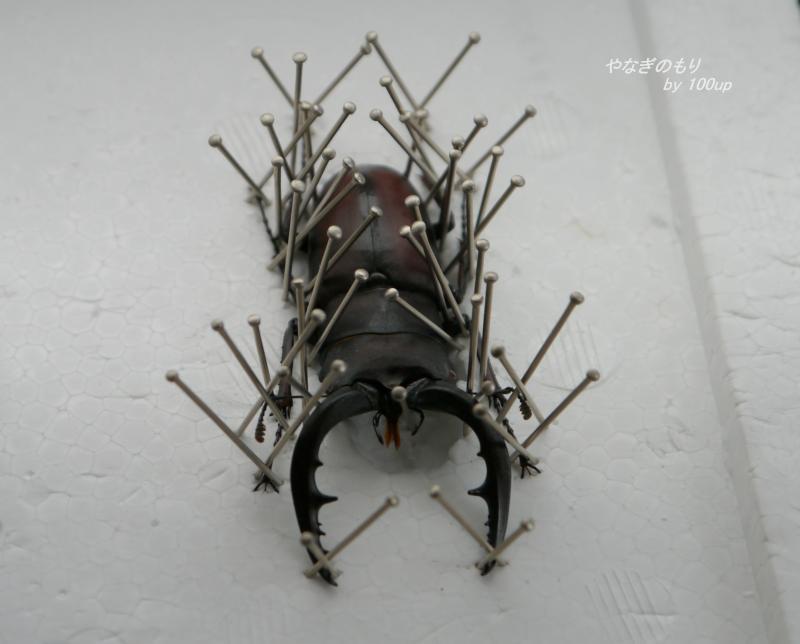 ノコギリクワガタ-標本