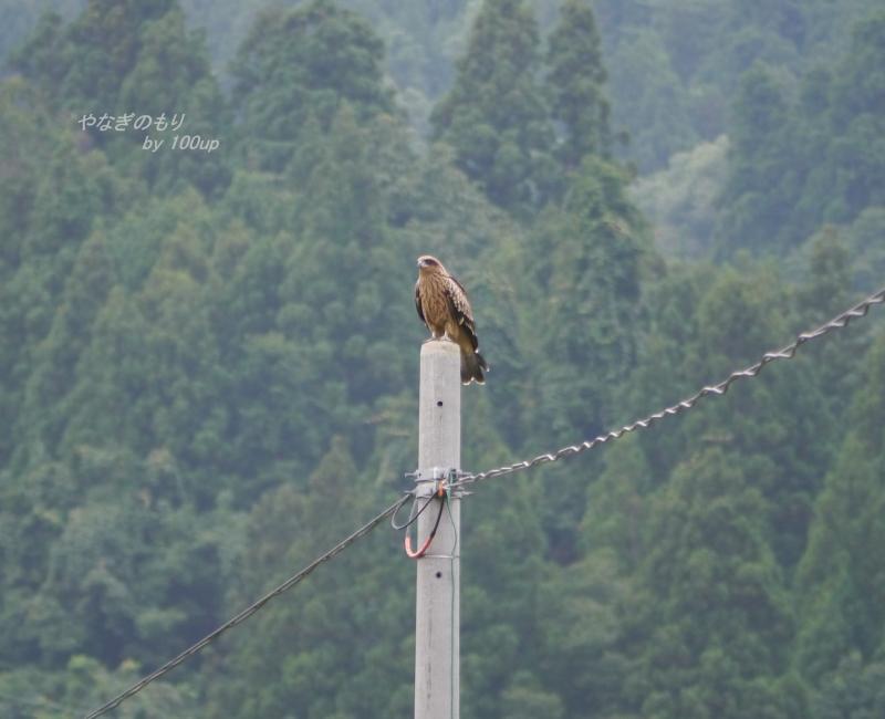 2013,8,5新潟県トンビ