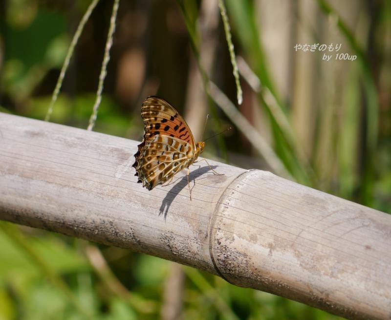 タテハ蝶不明