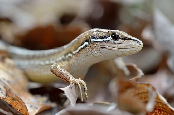 カナヘビ横顔