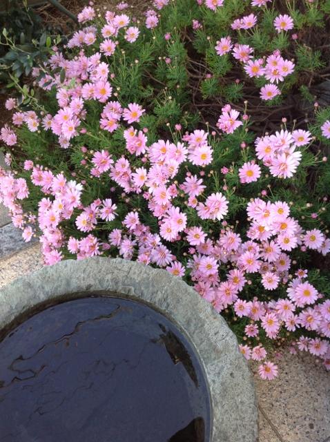 お庭のマーガレットが満開です。