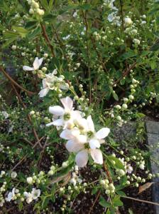 庭のお花が咲きました。