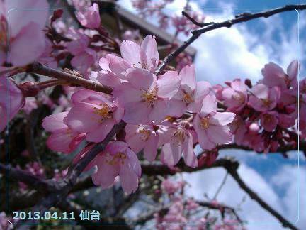 2013 4しだれ桜