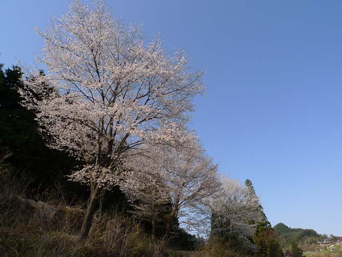 桜 やまざくら 山桜 花見