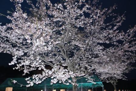 夜桜 IMG_8578