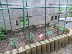 トマト苗1