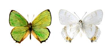Chrysozephyrus yakushimaensis ヤクシマミドリシジミ♂a
