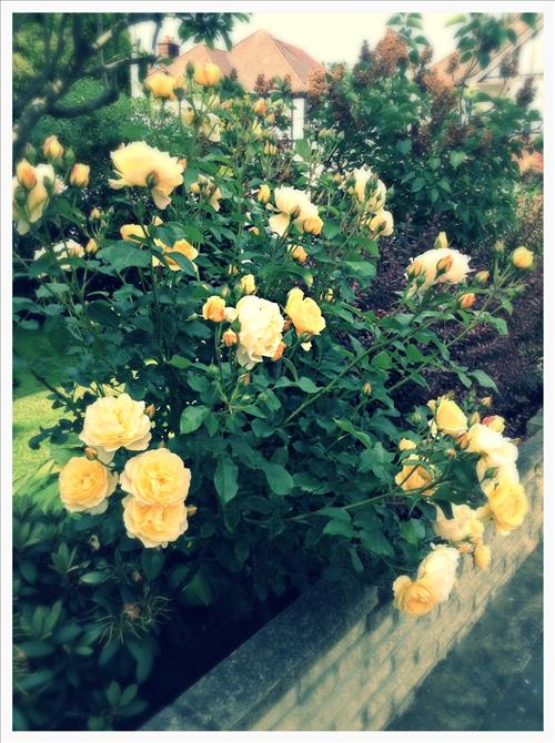 RosestImage3.jpg
