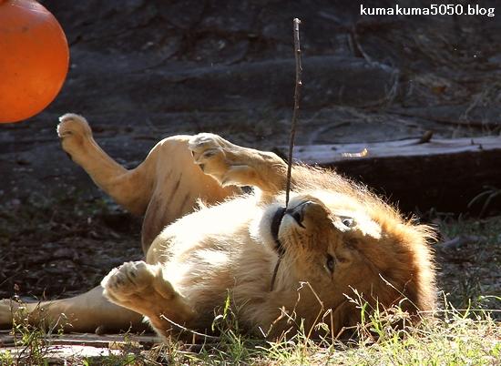 ライオン_713