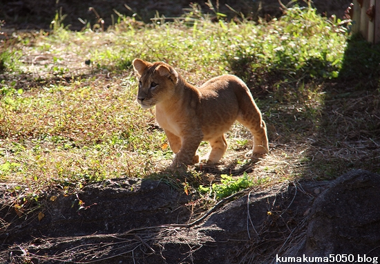 ライオン_731