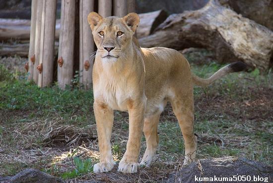 ライオン_755