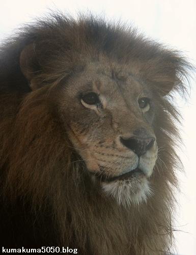 ライオン_793