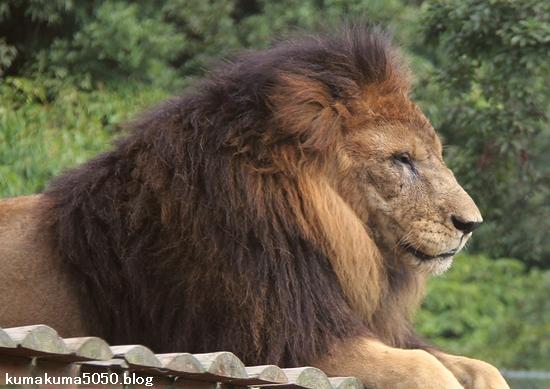 ライオン_812