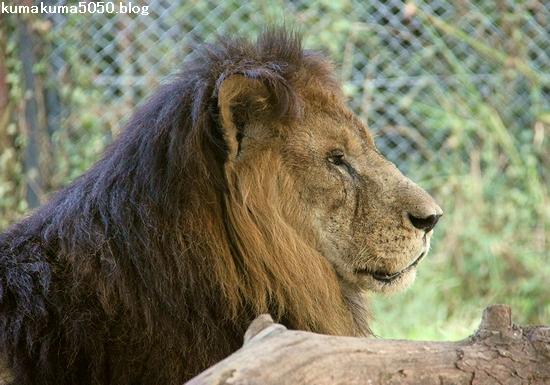 ライオン_818