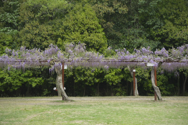 和気神社 「藤棚」