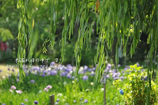 花ショウブ園