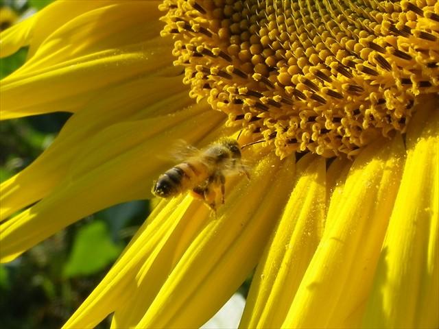 ミツバチのホバリング