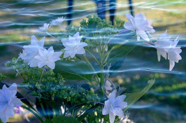 海に墨田の花火(紫陽花)