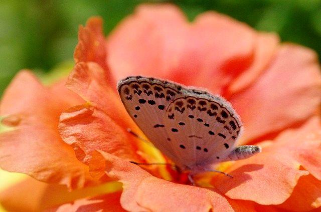 シジミ蝶さん(マクロ)