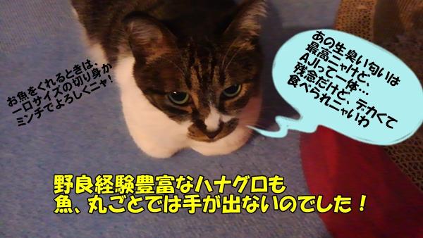 ハナグロとAJI③